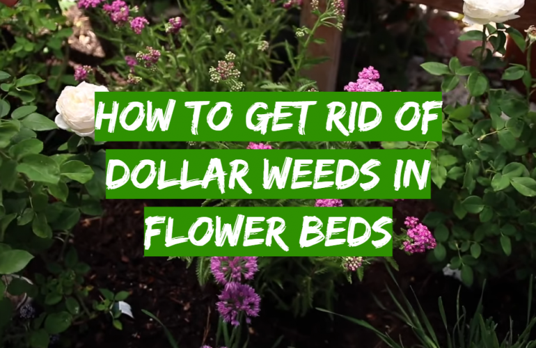 How to Get Rid of Dollar Weeds in Flower Beds?