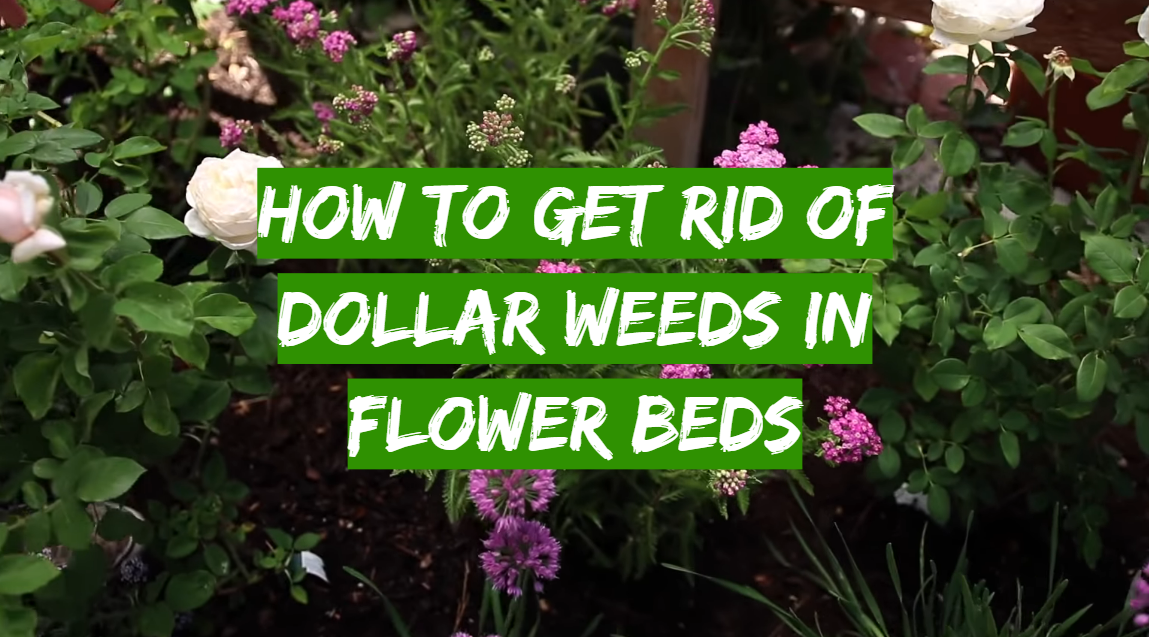How to get rid of dollar weeds in flower beds